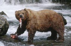 美国阿拉斯加Katmai国家公园吃萨蒙河侧视图的棕熊 免版税库存图片
