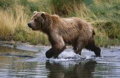 美国阿拉斯加Katmai国家公园跑横跨水侧视图的棕熊 库存照片