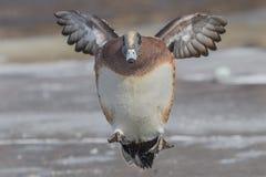 美国飞行野鸭 免版税库存照片