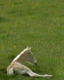 美国马驹奶油 免版税图库摄影