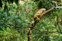 美国鬣鳞蜥 库存图片
