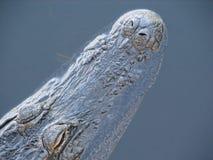美国鳄鱼在水中 免版税库存图片