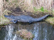 美国鳄鱼(鳄鱼Mississippiensis) 免版税库存图片