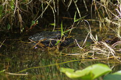 美国鳄鱼-鳄鱼Mississippiensis 免版税库存照片