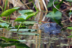 美国鳄鱼-鳄鱼Mississippiensis 库存图片