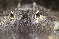美国鳄鱼 库存图片