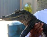 美国鳄鱼 免版税库存照片