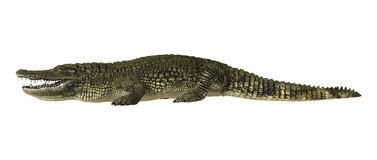 美国鳄鱼 免版税库存图片