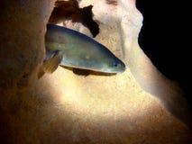 美国鳗鱼 库存图片