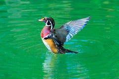 美国鸭子木头 免版税库存图片