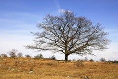 美国鹅掌楸结构树 免版税图库摄影