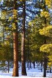 美国黄松在冬天 免版税库存图片
