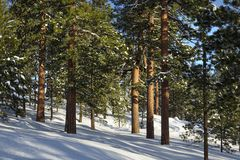 美国黄松在冬天 图库摄影