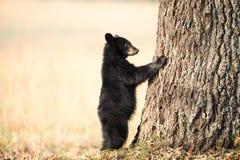 美国黑熊崽 免版税库存照片