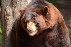 美国黑熊(美洲的熊属类) 图库摄影