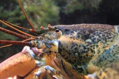 美国龙虾 免版税库存图片
