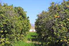 美国,亚利桑那:葡萄柚果树园 库存照片