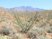 美国,亚利桑那:蜡烛木(藤仙人掌)在四个峰顶原野 免版税图库摄影