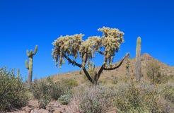 美国,亚利桑那/Sonoran沙漠-垂悬的链Cholla 库存照片