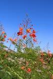美国, AZ :孔雀花-开花,芽,荚,叶子 图库摄影