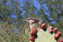 美国, AZ :赴宴在仙人球的模仿鸟 免版税库存图片