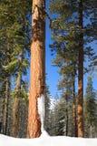 美国黄松在冬天 库存图片