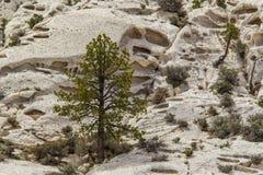 美国黄松树 免版税库存照片