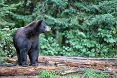 美国黑熊 免版税库存照片