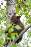 美国黑熊Cub (美洲的熊属类) 免版税库存照片