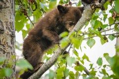 美国黑熊Cub (美洲的熊属类) 免版税库存图片