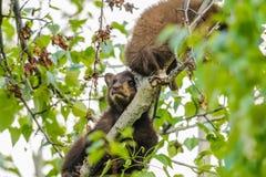 美国黑熊Cub (美洲的熊属类) 库存图片