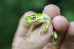 美国绿色雨蛙握手中手指 图库摄影