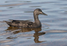 美国黑鸭,语录rubripes 免版税库存图片