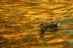 美国黑鸭 库存图片