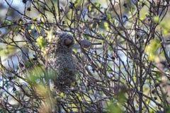 美国bushtit鸟巢 库存图片