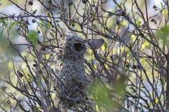 美国bushtit鸟巢 图库摄影