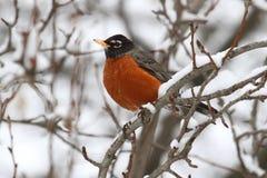 美国migratorius知更鸟画眉类 免版税图库摄影