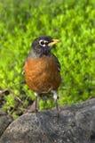 美国migratorius知更鸟画眉类 免版税库存图片