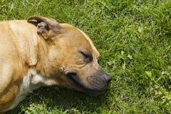 美国pitbull狗 库存照片