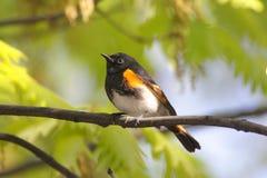 美国redstart鸣鸟 免版税图库摄影