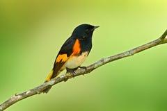 美国redstart,刚毛虫类ruticilla,从墨西哥的新的世界鸣鸟 唐纳雀在自然栖所 鸟的监视人在南Americ 库存图片