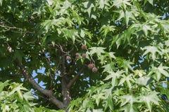 美国sweetgum叶子和果子 免版税库存照片