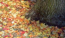 美国sweetgum胶皮糖香树styraciflua树在groun nd离开 免版税图库摄影