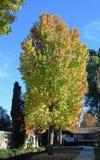 美国sweetgum胶皮糖香树styraciflua树 库存图片