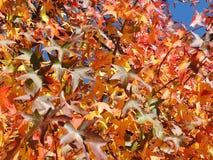 美国sweetgum,在与它的红色,桔子和黄色叶子的秋季 免版税图库摄影