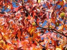 美国sweetgum,在与它的红色,桔子和黄色叶子的秋季 库存照片
