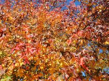 美国sweetgum,在与它的红色,桔子和黄色叶子的秋季 库存图片