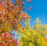 美国sweetgum,在与它的红色,桔子和黄色叶子的秋季 免版税库存图片