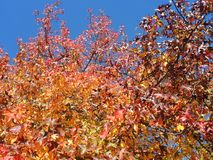 美国sweetgum,在与它的红色,桔子和黄色叶子的秋季 图库摄影