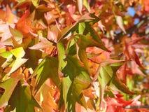 美国sweetgum,在与它的红色,桔子和黄色叶子的秋季 免版税库存照片